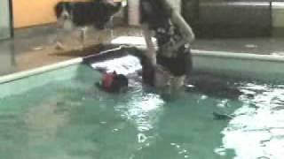 Collision While Swimming Havanese Dog Puppy