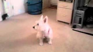Westie wants to go potty