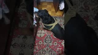 Собака после инсульта. Начинаем ходить.