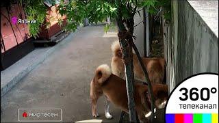 В Японии три собаки породы Шиба-Ину стали достопримечательностью - МТ