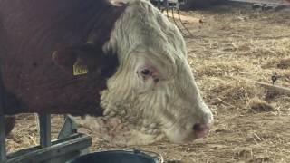 Csenderes 4. - Guszti bika körmölése