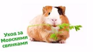 Уход за морскими свинками расчески шампуни и средства от паразитов(Подробнее о домашних питомцах, их уходе, корме и лечении смотрите на нашем канале: https://www.youtube.com/playlist?list=PL9gKe3cr..., 2016-12-11T07:45:51.000Z)