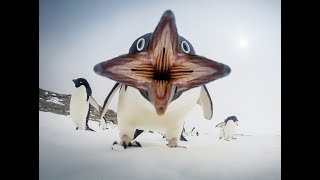Лучшие приколы с пингвинами.Подборка смешных и интересных видео с пингвинами .