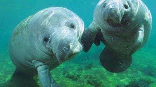 Ламантины на свободе: для сохранения животных их перевезли в заповедник Карибского моря