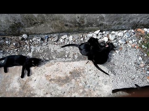 Funny black kittens playing fight - part 2