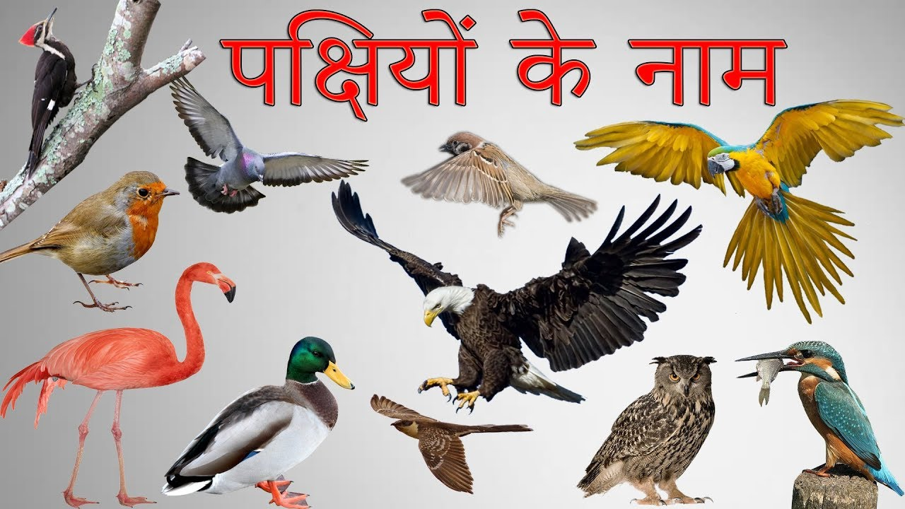 V Naam Ke Log हद म पकषय क नम Birds Names In Hindi With Pictures Pakshi Ke Naam पछय क नम