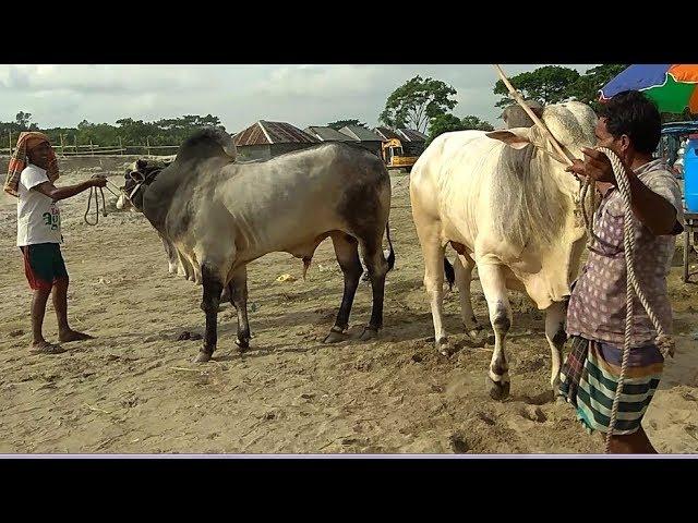 456 | Sibbi ShowTime | 4 Bulls Asking 1200k (12 Lakh) | Village Haat | Paragram Diaries | ZbGH 2018