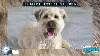 Soft coated Wheaten Terrier  Everything Dog Breeds