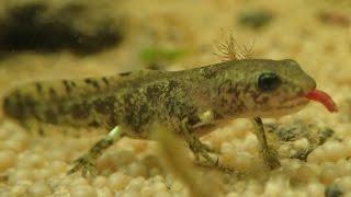 Timelapse: Feeding the Fire Salamander Larvae || Zeitraffer: Fütterung der Feuersalamanderlarven