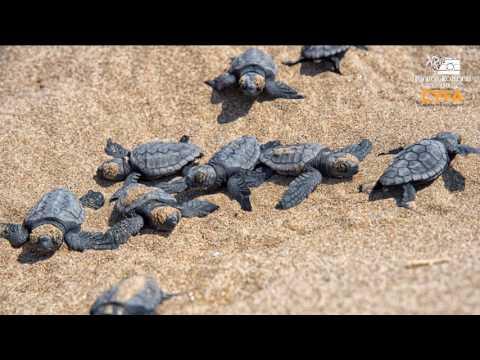 Caretta Caretta Turtles in Lara Cyprus from Above