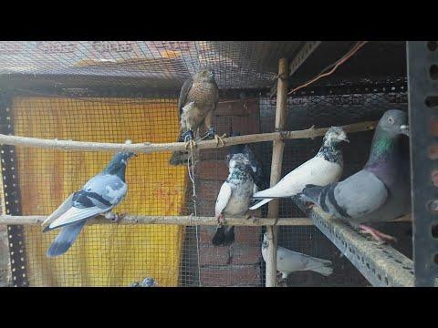 Hawk and pigeon lived in a same loft, are they friend ? | kabutar+baaz=  kabutarbaaz | hawk Vs pigeon