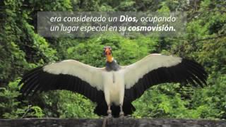 NACIMIENTO DE ZOPILOTE REY EN PARQUE XCARET | Xcaret México! …