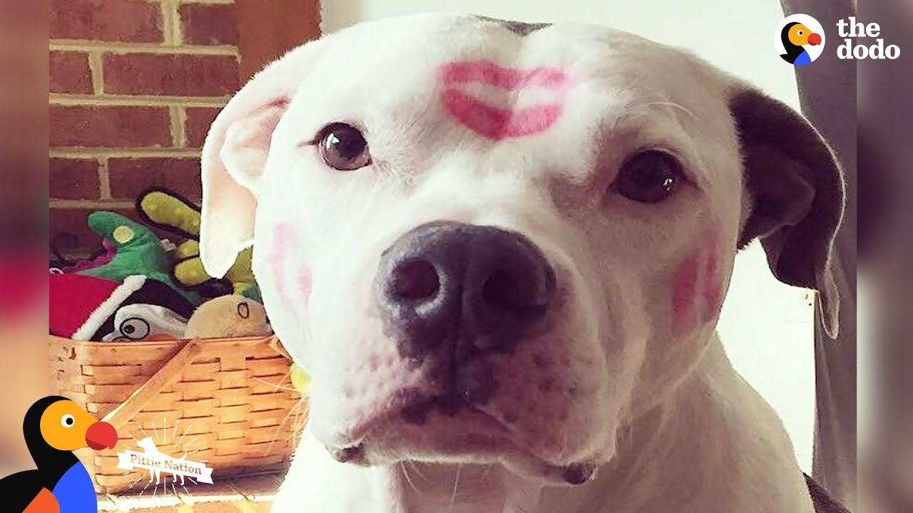 Inspiring Pit Bull Dogs Who Are Survivors   The Dodo Pittie Nation