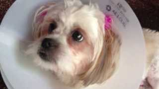 Shih Tzu Puppies Jing Jing And Lulu (spayed) Dog Breed Puppy Elizabethan Collar E-collar Pet Cone