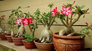 Tire Todas a Duvidas Sobre o Cultivo das Suas  Rosas do Deserto