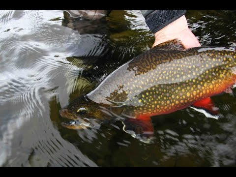 Nipigon River Brook Trout Pt  2 (Northern Ontario)