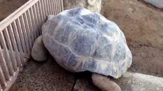 Галапагосская черепаха. Самая большая черепаха в мире