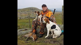 Fox hunting with halden hound and fox terrier in Norway