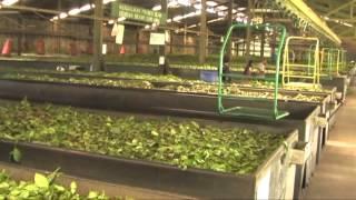 Bandoeng / Bandung (West-Java, Indonesië) - Theefabriek Walini Ciater (Tea Factory), 10 juni 2014