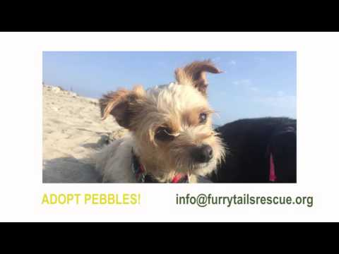 Adopt Pebbles! 5 yr old Cairn Terrier Mix