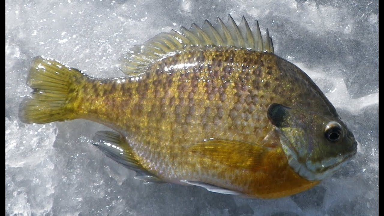 Aqua vu minnesota rig catches sunfish youtube for Mn ice fishing regulations
