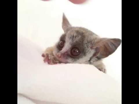Petting a Bush Baby - YouTube