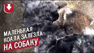 Маленькая коала забралась на спину собаке