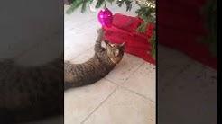 Sweet Tabby Cat For Adoption in Jacksonville FL - Meet Josi