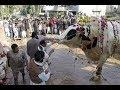 Watch Live - Cow Qurbani 2018 by professional qasai || Eid ul adha 2018 ||