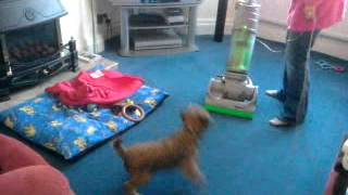 Border Terrier Max Barking At Hoover