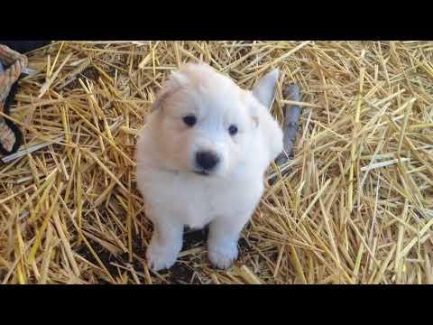 PuppyFinder.com : Great Pyrenees mix