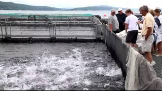 Feeding Frenzy at Fish Farm