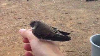 Pájaro salvaje se deja coger.