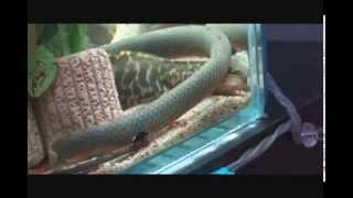 熱帯魚図鑑44 ヤマウツボ(Gymnothorax polyuranodon ) にょろにょろ系好きにはたまらない!花園教会水族館