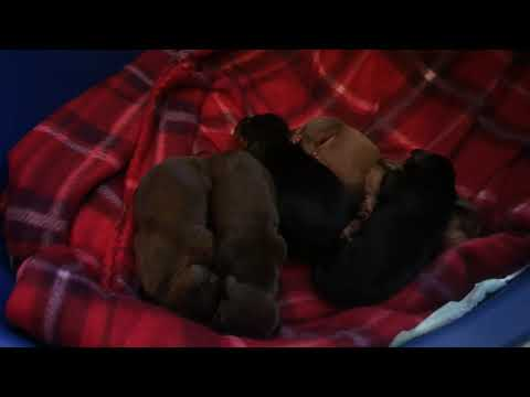 2 Day Old Miniature Dachshund Puppies