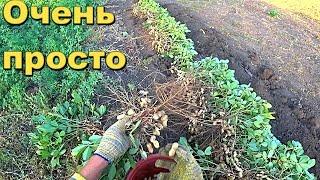 Как посадить и Вы растить арахис у себя на грядке.Самый простой способ.