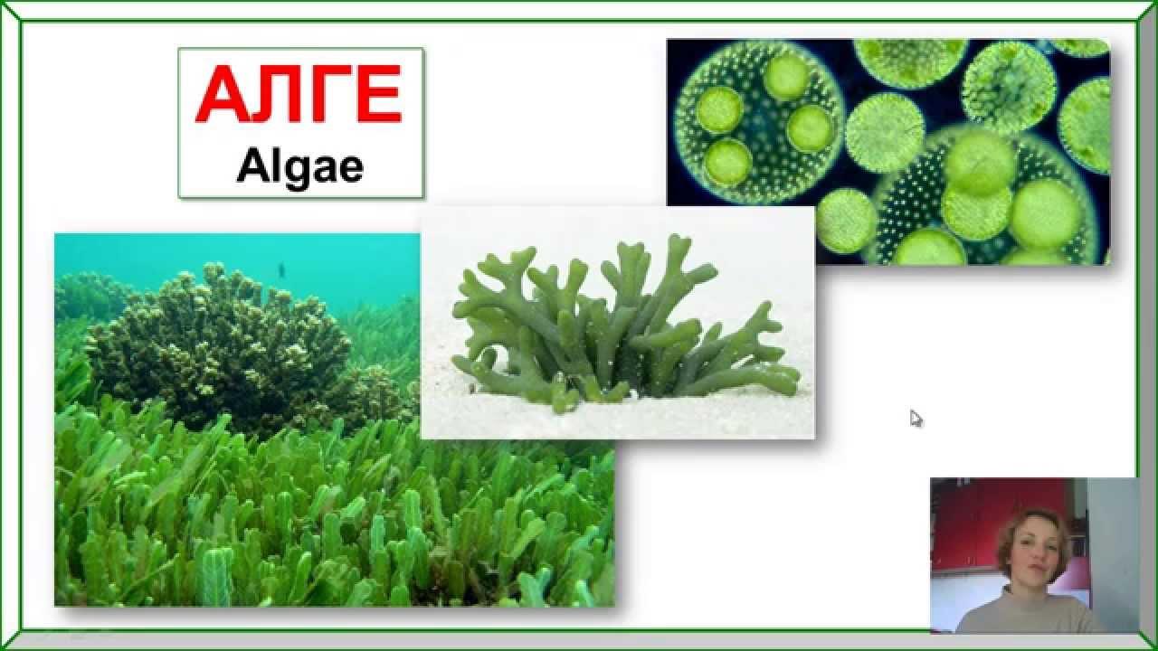 Alge Alge Alge