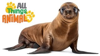 SEA LIONS: Animals for children. Kids videos. Kindergarten | Preschool learning