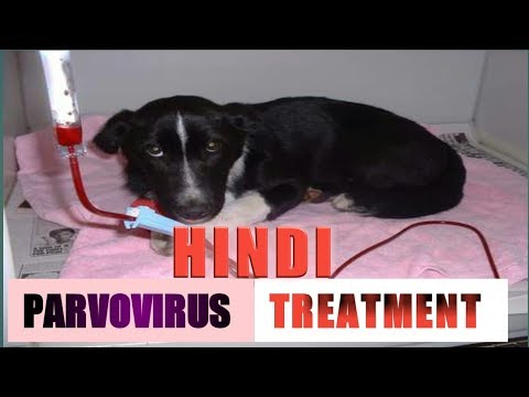 Parvo Virus Full Treatment In Hindi !! Dog Ultimate Care!!