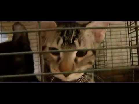 Lynx Hybrid - Rare Kittens - EXOTIC CATS
