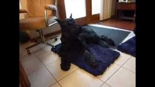 Giant Schnauzer With Chattering Teeth