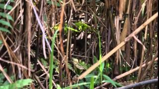 Spotted Bush Warbler - Song