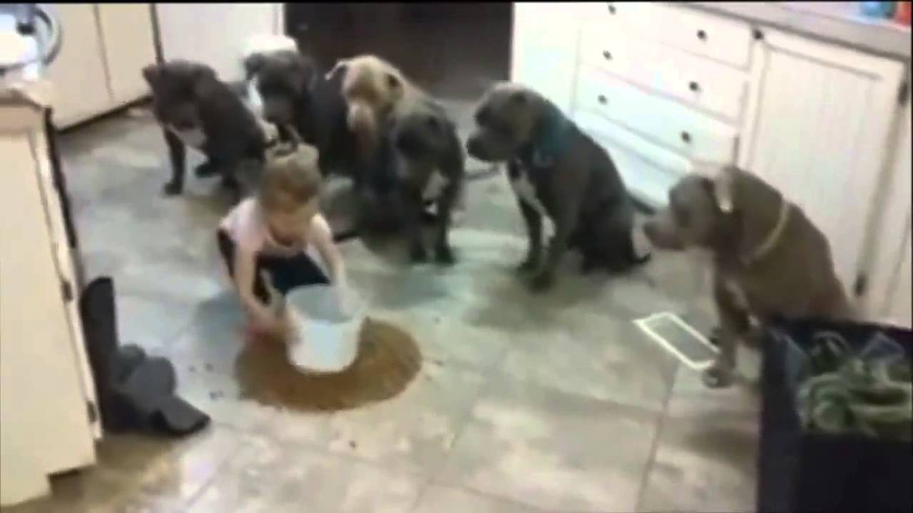 Little Girl Fearlessly Feeds Six Hungry Pit Bulls