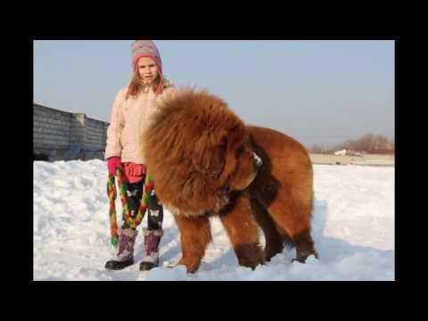 Тибетский мастиф Снежные львы из Тибета