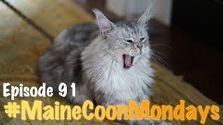 #MaineCoonMondays - Episode 91