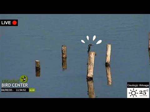 ¡Un Martín pescador y una Garza real con una anguila! · A Kingfisher and a Grey Heron with an eel!