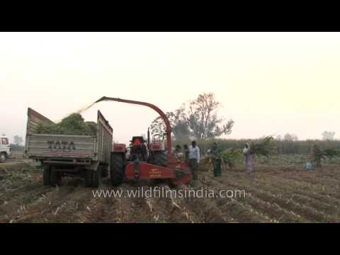 Silage being made with the help of forager in the fields of Ludhiana