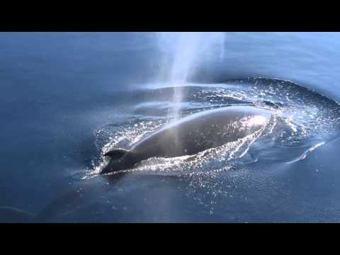 "Minke Whale - McMurdo Sound ""that's badass"" with Curious Carl"