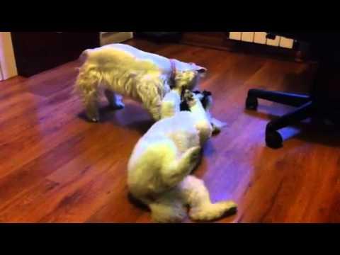 Maya - West Highland White Terrier