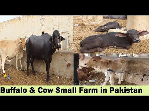 Buffalo And Cow Small Farm in Bhains Colony Karachi Pakistan